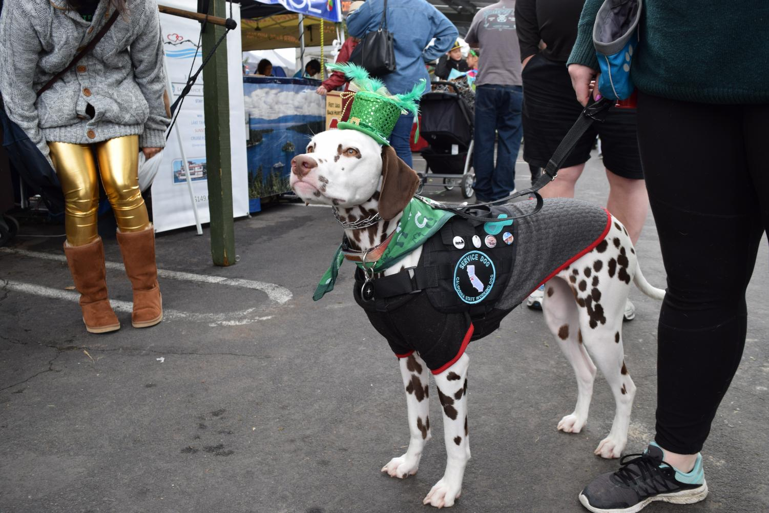 A service dog all decked out for the St. Patrick's Day Festivities.
